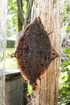 fishingnet: Closeup of a large flat fish in a fishing net