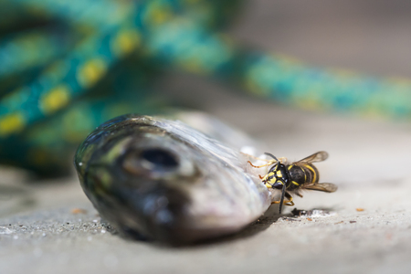 hornet: Hornet is biting scales of a fish Stock Photo