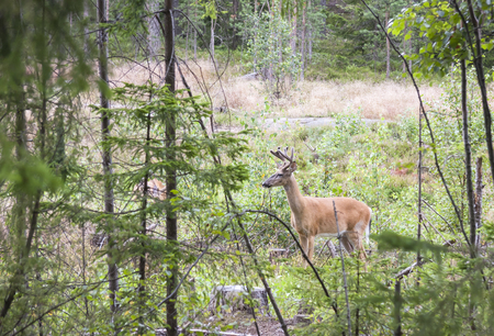 white tailed: Wild white tailed deer in forest in summer