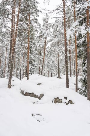 Snowy pine tree forest at winter