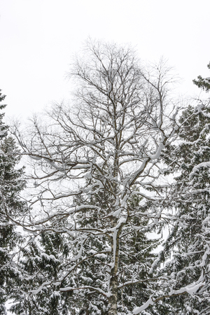 Snowy bare tree in forest at winter