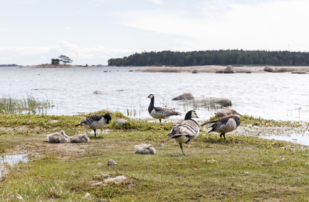 Many barnacle goose birds stand and sit on coast at seashore Stock fotó - 82165854