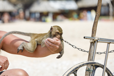Chained monkey lies on a person hand and chews it