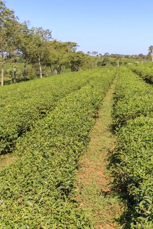 BAO LAM, VIETNAM - FEBRUARY 19, 2018: Tam Chau Tea plantation with large green tea fields in Bao Lam , Vietnam
