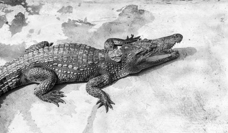 Crocodiles at pool side in a farm in Vietnam Stock Photo