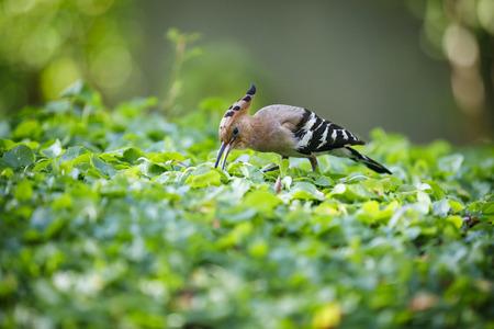 Closeup of hoopoe bird on green grass leaves