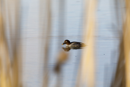 Female Barrow's goldeneye swim in a lake in spring