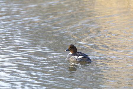 Female Barrow's goldeneye swims in a lake in spring
