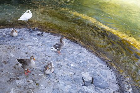 Several water birds and a swan stand at water edge Stock Photo