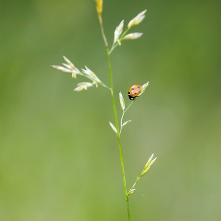 Little orange ladybug on a thin plant straw in front of green background Zdjęcie Seryjne