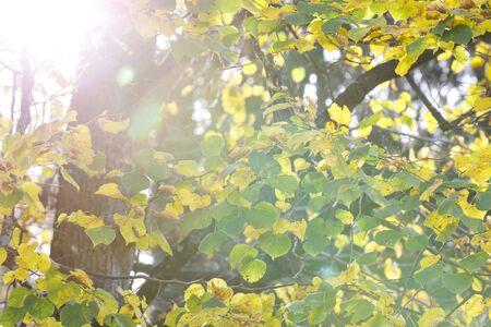 Close-up van gele boombladeren in de herfst Stockfoto