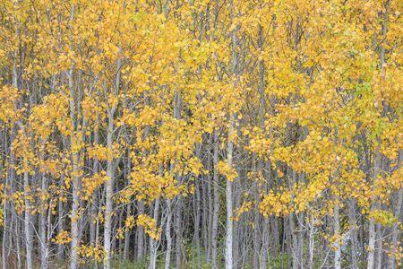 Golden foliage of birch tree forest in autumn