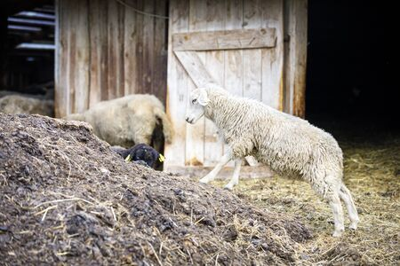 Sheeps on hay and manure in front of barn Stock fotó