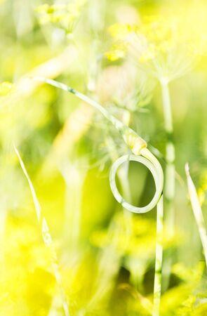 Closeup of garlic stem taken a shape of a ring or circle Stock fotó