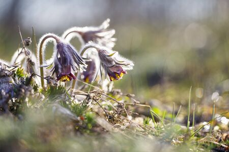 Closeup of three pasque flowers at sunlight in spring Stock fotó