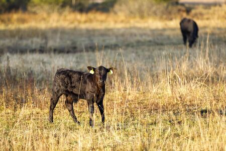 Several black calf or baby cow on a hay field in the morning