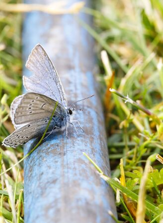Closeup of blue butterfly on a blue water pipe in summer