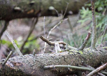 Little white least weasel on fallen fir tree in forest