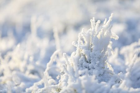 Closeup of grass tuft covered with white snow and ice in winter
