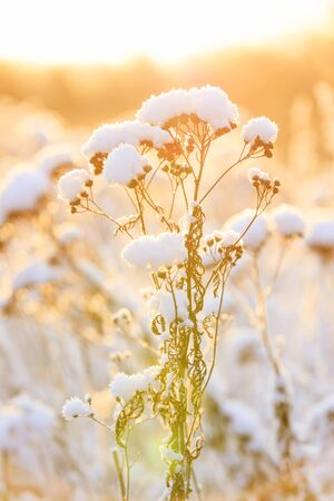 Closeup of plant tops under thick white snow pillow in a warming sunlight at winter Stockfoto