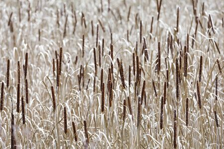 Sea of hundreds of reed-mace or cat-tails
