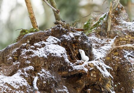 Small white least weasel on an old tree stump in winter forest Stok Fotoğraf