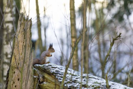 Closeup of a squirrel on a fallen snowy