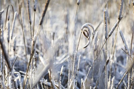 Curvy and straight snowy cattails at bright winter day