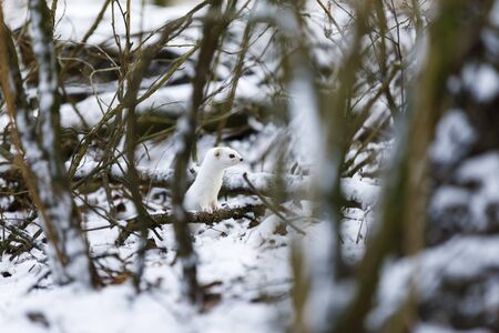 Small white least weasel between tree branches in snowy winter forest Stok Fotoğraf