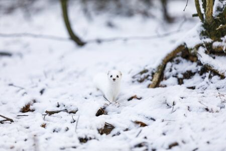 Portrait of small white least weasel in snowy forest at winter