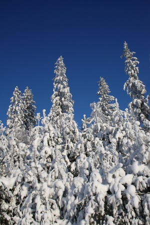 Snowy trees and blue sky photo