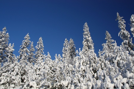 quiet scenery: Snowy trees and blue sky