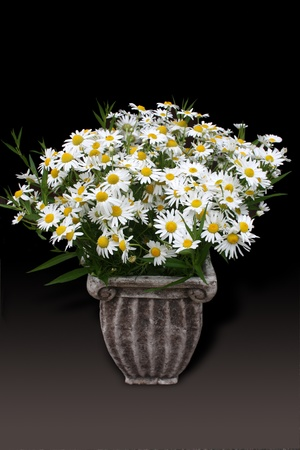 Daisies in a classic pot