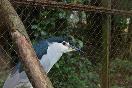 gray herons: Gray night heron in front of wire fence