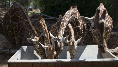 Group of giraffe  Stock Photo - 23315304