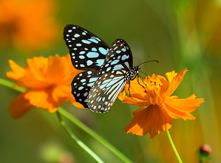 Blue tiger butterfly or Danaid Tirumala limniace on an orange Cosmos flower. Stock Photo