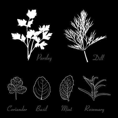 coriander: Herbs