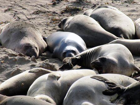 pod of seals lazing on beach Banco de Imagens