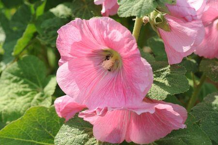 singly: bright pinkhollyhocks with sun shining through petals