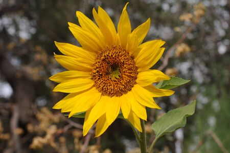 singly: single large sunflower focused in very center Stock Photo