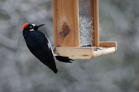black with red top woodpecker intent on feeder