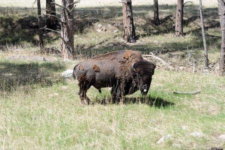 molting: lone molting buffalo  Stock Photo