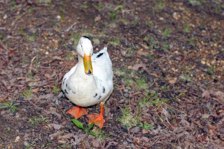 waddling lone white duck walking Stock Photo - 4991206