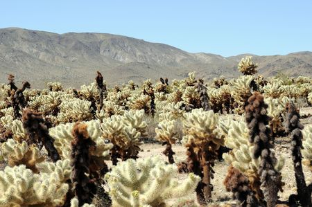 cholla cactus: field of desert cholla cactus with mountains in background