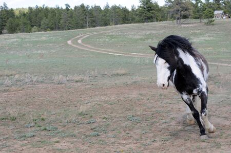 unbound: Spanish Mustang running arond carefree and unrestrained
