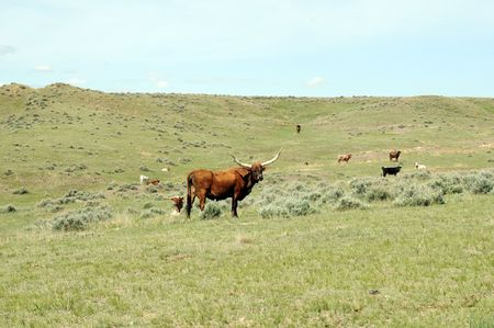 longhorn cattle: Longhorn ganado en praderas con paisaje silvestre  Foto de archivo