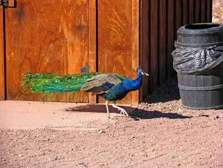 showoff: peacock struts through old western ghost town Stock Photo