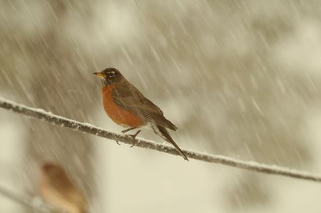 Robin sitting on telephone line during snow storm  Stock Photo