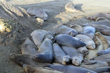 several elephant seals rest on shady  beach