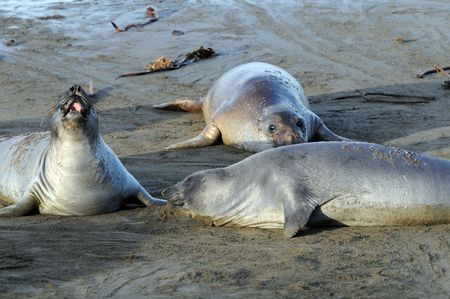 three elephant seals lazing on California beach
